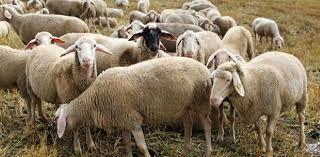 واردات از رومانی برای رفع مشکل گوشت