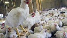 شرط کاهش قیمت مرغ