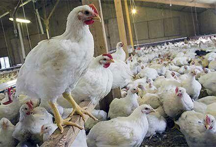 نگرانی مرغداران از شیوع خودخوری جوجهها