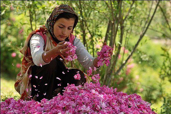 ایران؛ بزرگترین پرورش دهنده گل محمدی در جهان