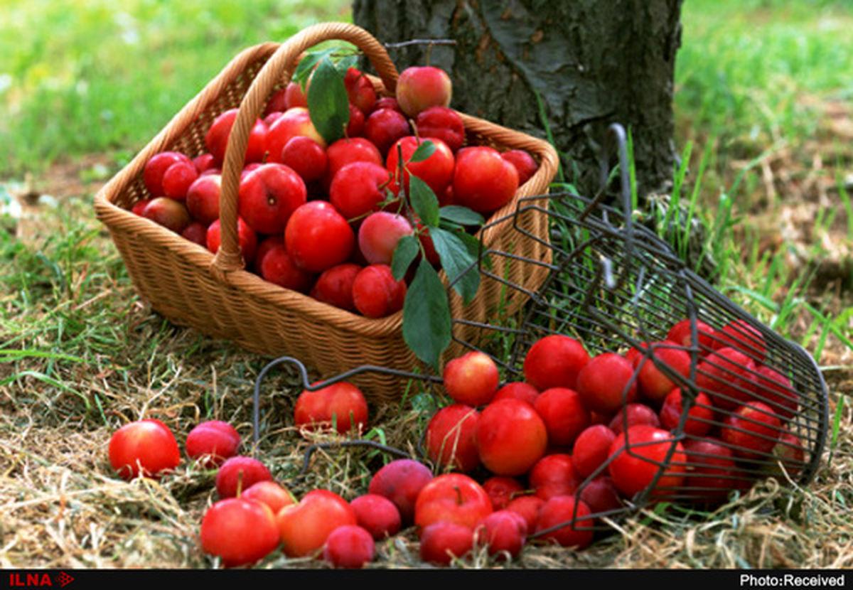 عملیات خرید سیب صنعتی و درجه سه از باغداران غرب کشور آغاز شد