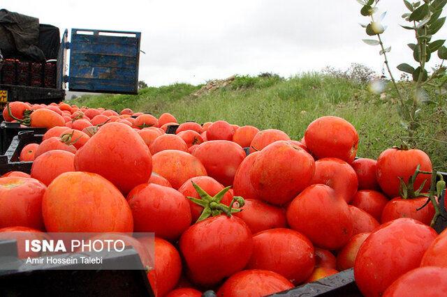 جدیدترین قیمت گوجهفرنگی+شماره تلفن اعلام گرانفروشی