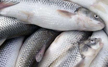 مردم قدرت خرید ماهی را دیگر ندارند