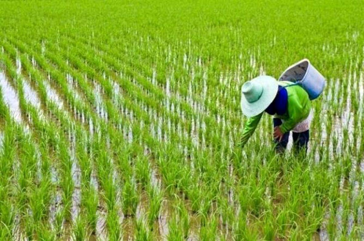 مهمترین دلایل افزایش قیمت برنج در بازار